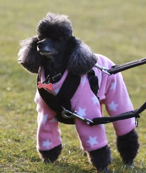 Poodle in fleece onesie